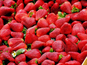 Picked for you strawberries at Pine Tree Apple Orchard
