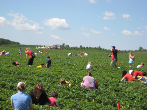 Pick your own strawberries at Pine Tree Apple Orchard