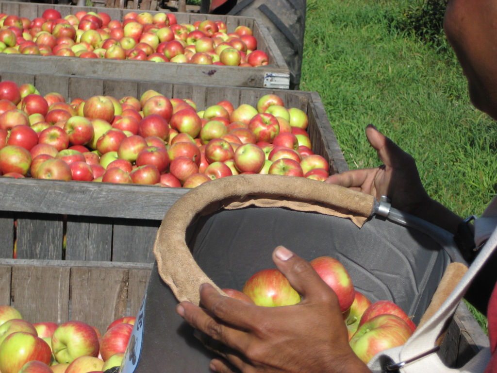 fresh picked apples at Pine Tree Apple Orchard
